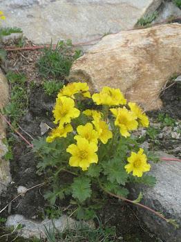 Geum montanum  (Cariofillata montana)