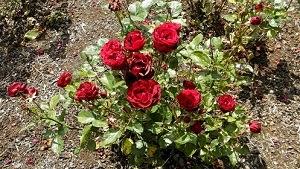 Rose Fertilizers picture