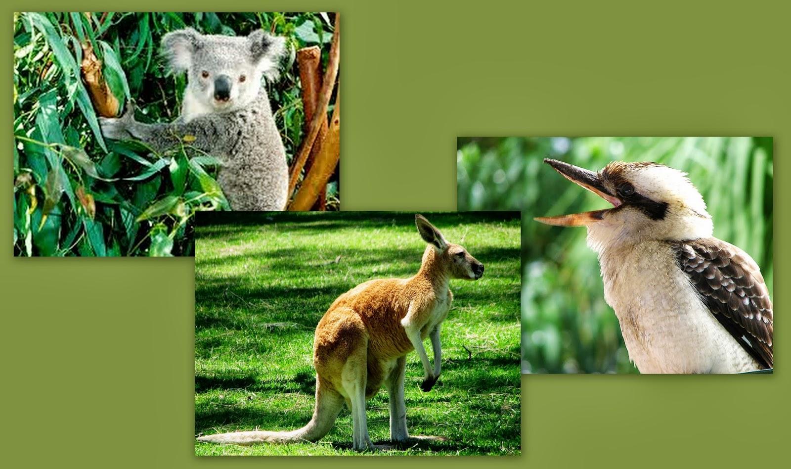 50 years around the world kooka u0027s koalas and kangaroos