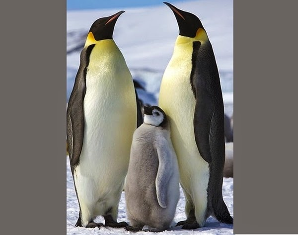 Emperor Penguin - maximum weight of 46 kilograms