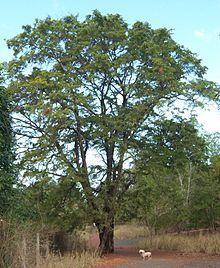 sejumlah manfaat pohon asam jawa bagi lingkungan hidup baik sebagai peneduh ataupun keindahan