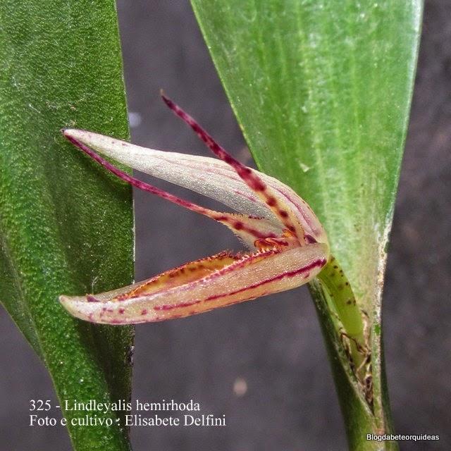 Pleurothallis hermirhoda