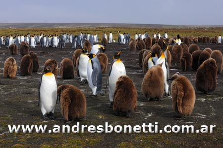 Pinguino Rey - King Penguin - Islas Malvinas - Falkland Islands - Andrés Bonetti