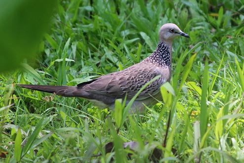 Spotted dove flying - photo#24