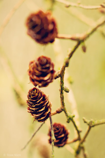 autumn in perthshire - brown pine cones