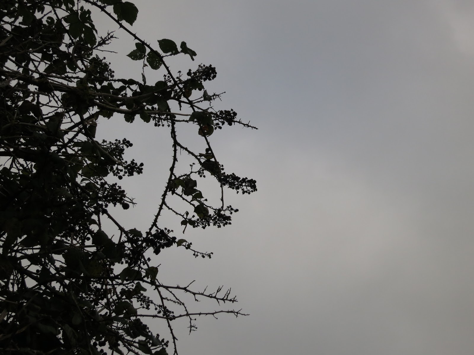 The silhouetted of old blackberries on bramble against a grey sky