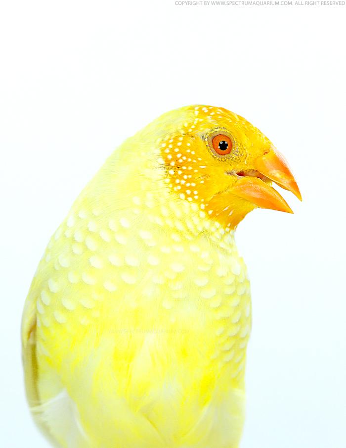 Yellow star finch - photo#11