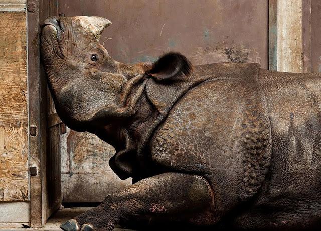 «Индийский носорог». Стивен Де Лиль (Stephen De Lisle).