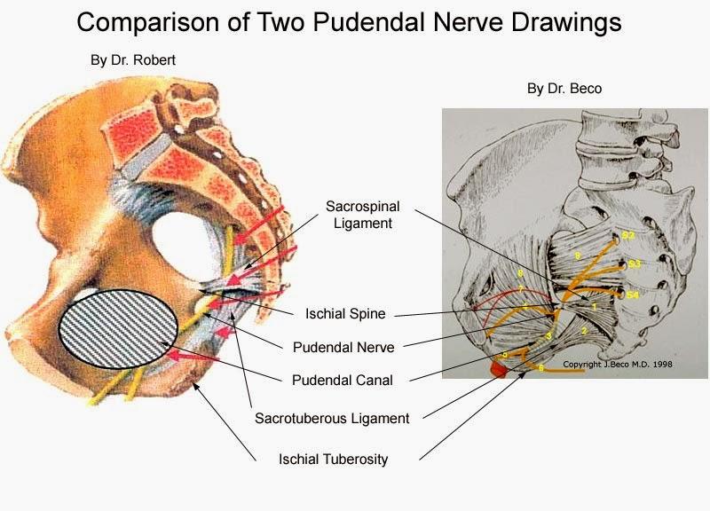 Pudendal nerve - Wikipedia