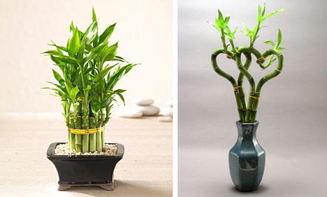 Bamboo Plants8