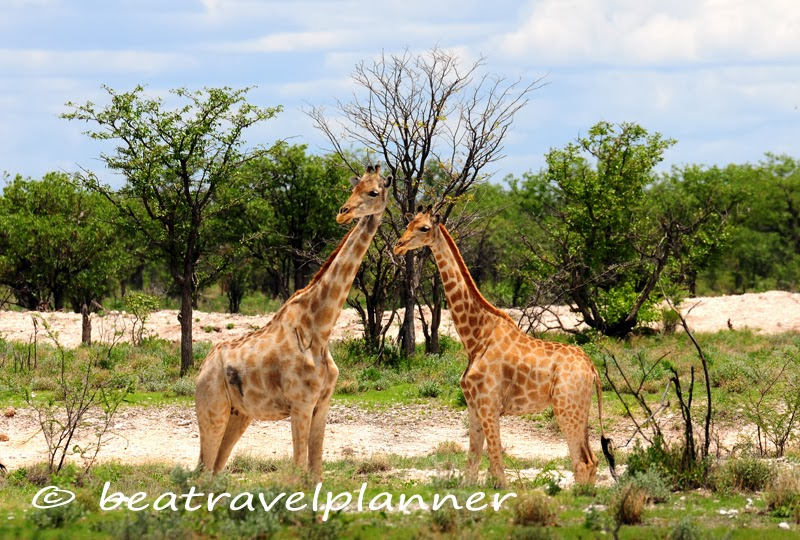Giraffe all'Etosha National Park