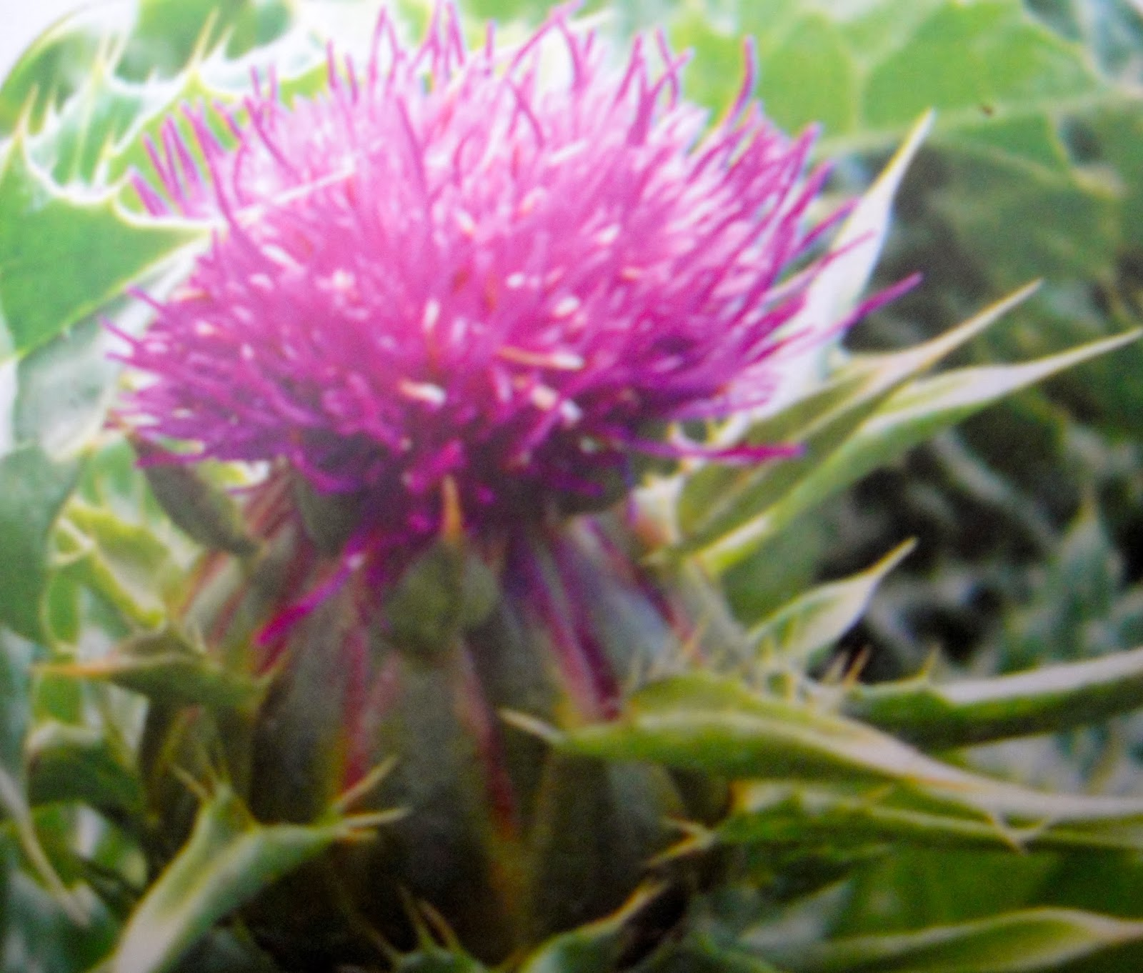 Where can i buy blessed thistle
