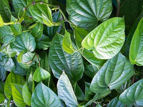 manfaat daun sirih bagi kesehatan,khasiat daun sirih,pengobatan daun sirih