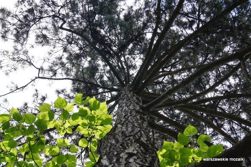 platan Włochy ogród drzewo pałacyk