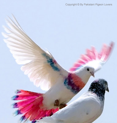 white colourful pigeon