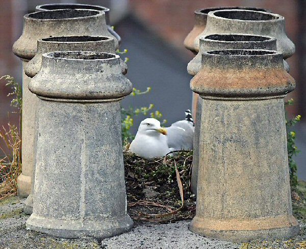 Roof-nesting Gull Survey