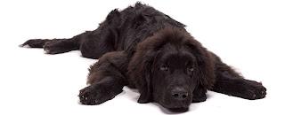 Grande cão