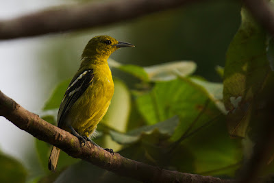Photograph of a female Common Iora taken in Thalangama, Sri Lanka
