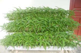 tanaman vertikultur