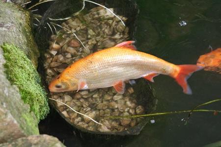 Il giardino delle naiadi pulire il laghetto con un pesce for Alimentazione pesci rossi laghetto