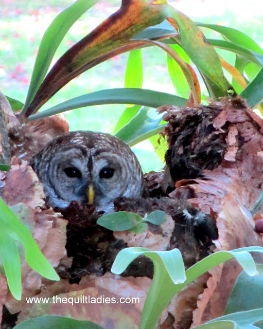 Who...Do I See, Owl in a nest photograph by Beth Ann Strub.