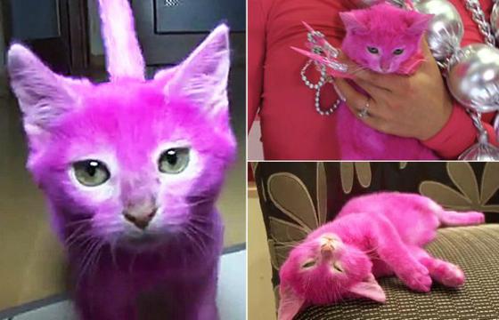Animal foi tingido para uma festa temática e acabou morrendo intoxicado pela tintura (Foto: Reprodução/The Mirror)