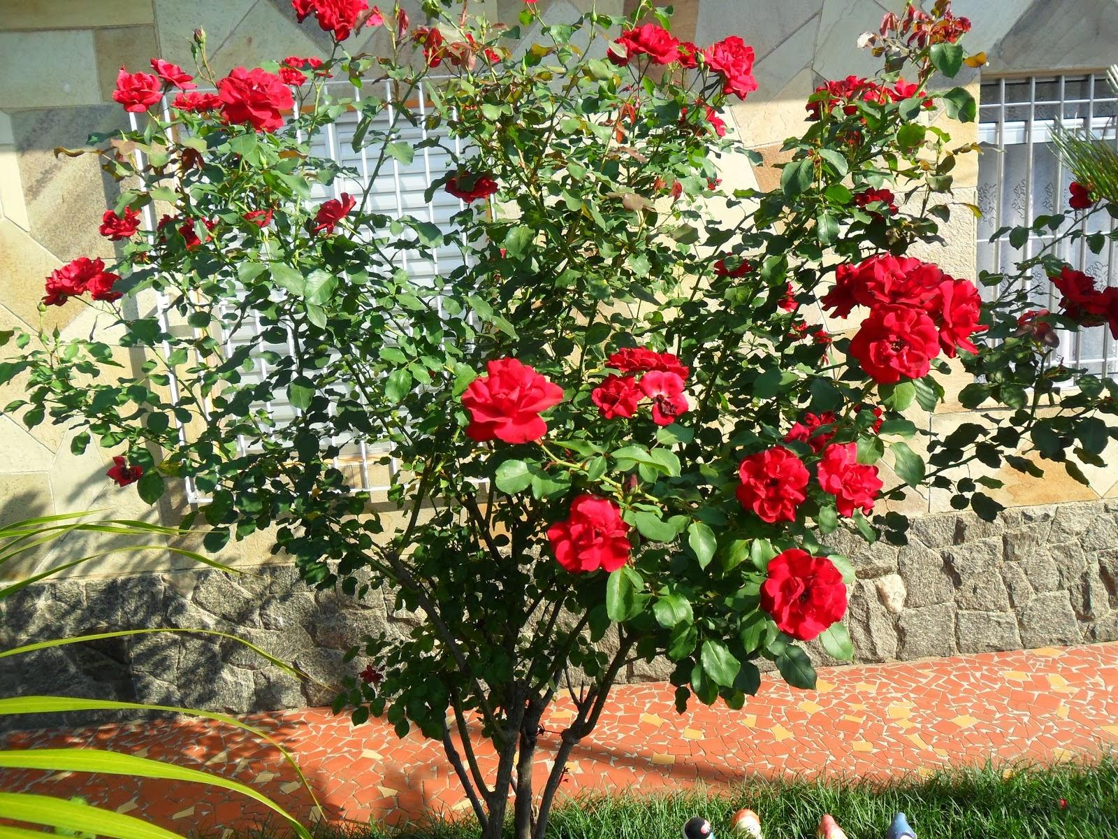 Espaço da Jardinagem Cuidados com roseiras!!!