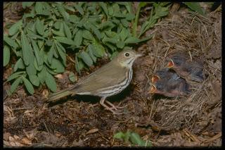 Image of an ovenbird