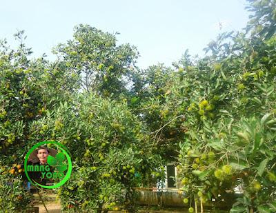 Foto : Rambutan cangkok