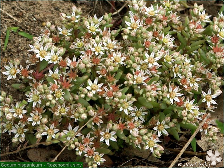Sedum hispanicum - Rozchodnik siny