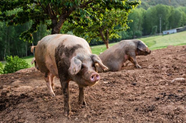 porco bísaro em campo