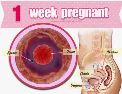 Steps Of Pregnancy