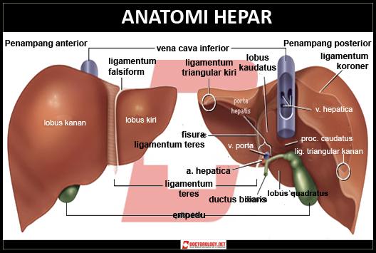 http://2.bp.blogspot.com/-qUH4KbN5zPM/UIy0F3SN0DI/AAAAAAAAGjo/DCHRE7QLrsY/s1600/anatomi-hepar.jpg