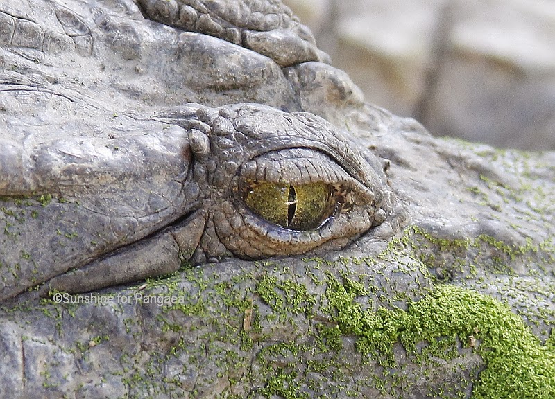Macro photo of a crocodile eye
