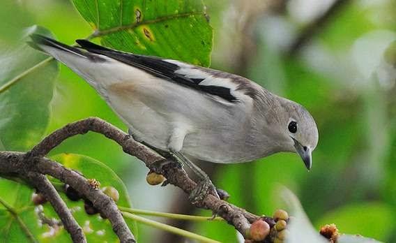 Gambar Cara Merawat Burung Cucak Kapas