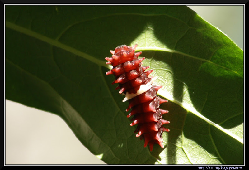 Pupa of Common Rose Butterfly