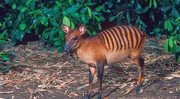 Zebra Duiker - 22 Bizzarre Animals You Probably Didn't Know Exist