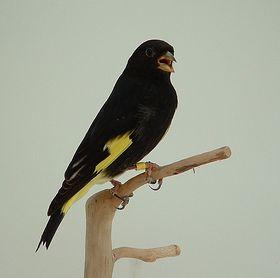 Burung Kenari - Solusi Penangkaran Burung Kenari -  Kode Ring Kenari Import Pada Negara Argentina