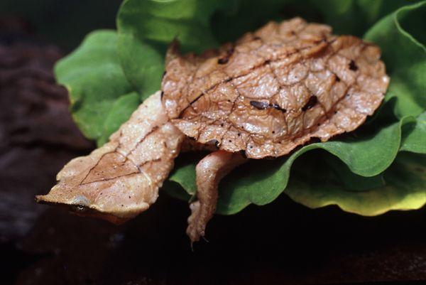 Mata mata (chelus fimbriatus) adalah spesis penyu air tawar yang