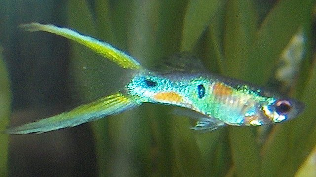 Lyretail Guppy Fish Photo