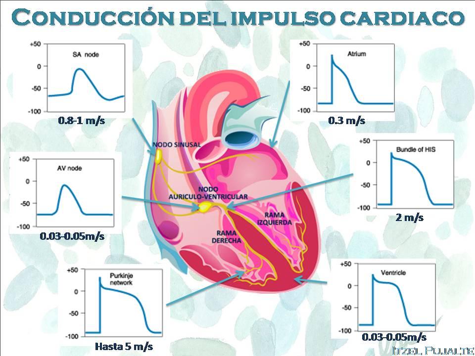 Fantástico Anatomía Del Diagrama De Corazón Imagen - Anatomía de Las ...