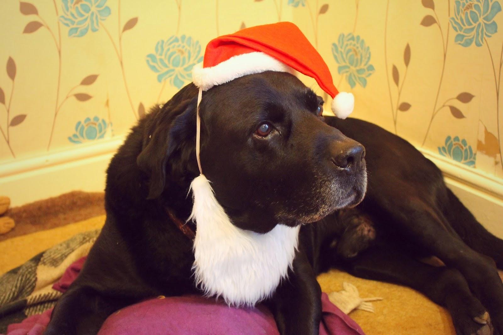 Merry Christmas labrador
