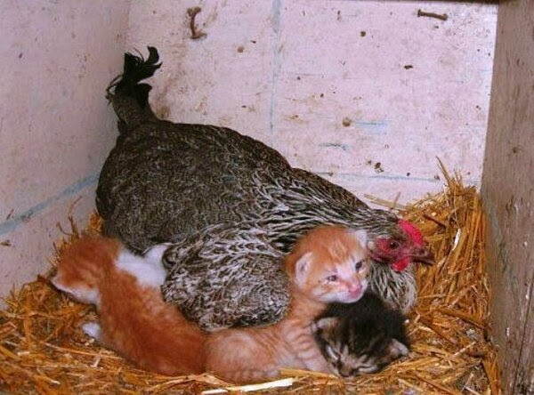 Funny animals of the week - 20 December 2013 (40 pics), chicken adopts kittens