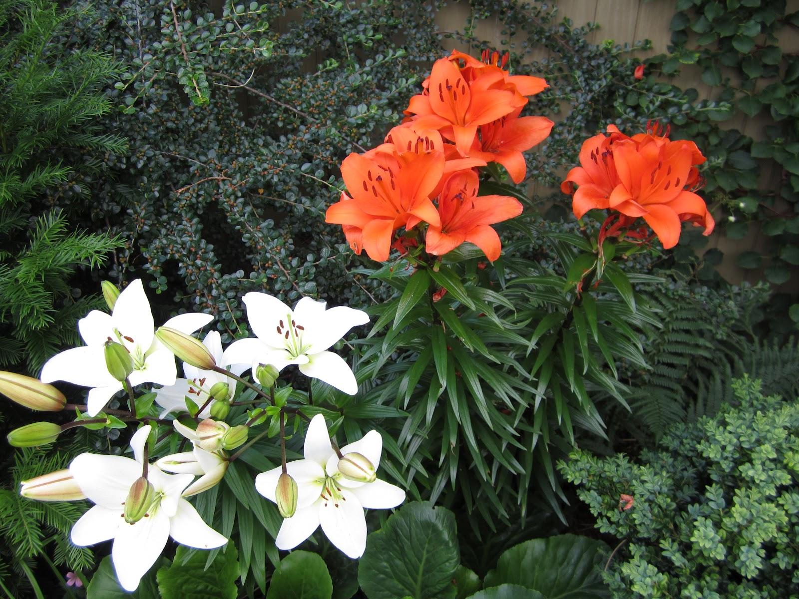 hvad skal tobakspibeplante plantes sammen med