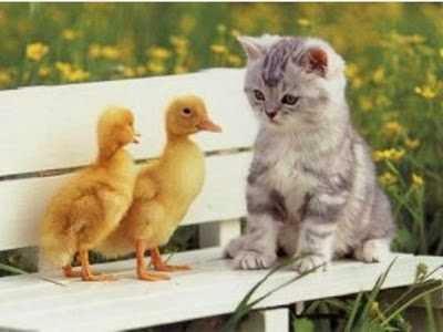 gambar hewan kucing lucu dengan anak bebek