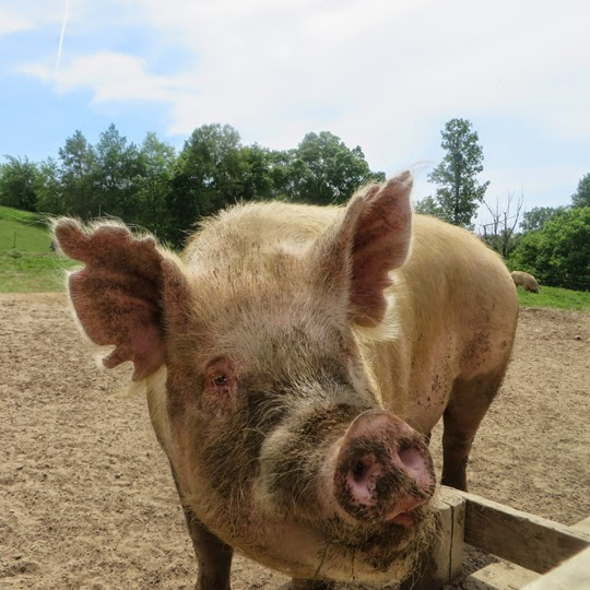 this pig has identification notches in his ears he was used in laboratory research before finding sanctuary