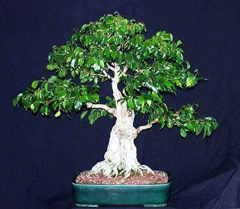 Penggemar Bonsai Kudus Bonsai Ficus