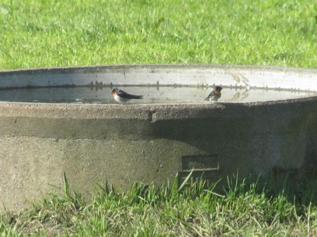 swallows-birds
