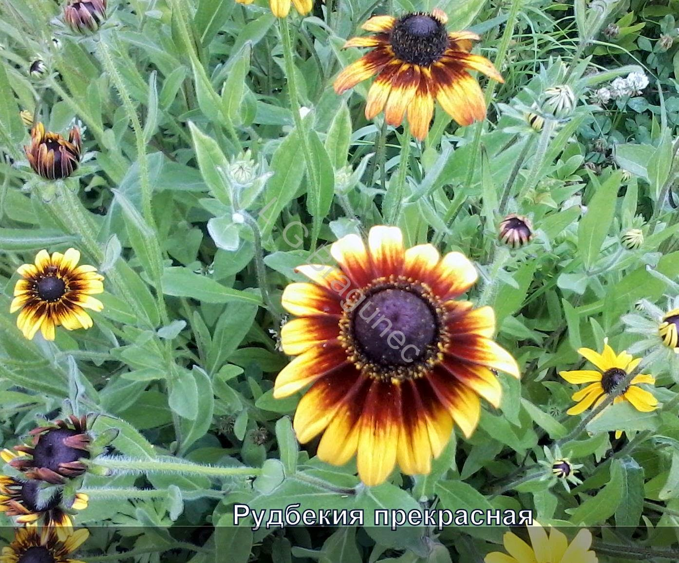 Рудбекия: выращивание из семян, посев и уход за рассадой 69