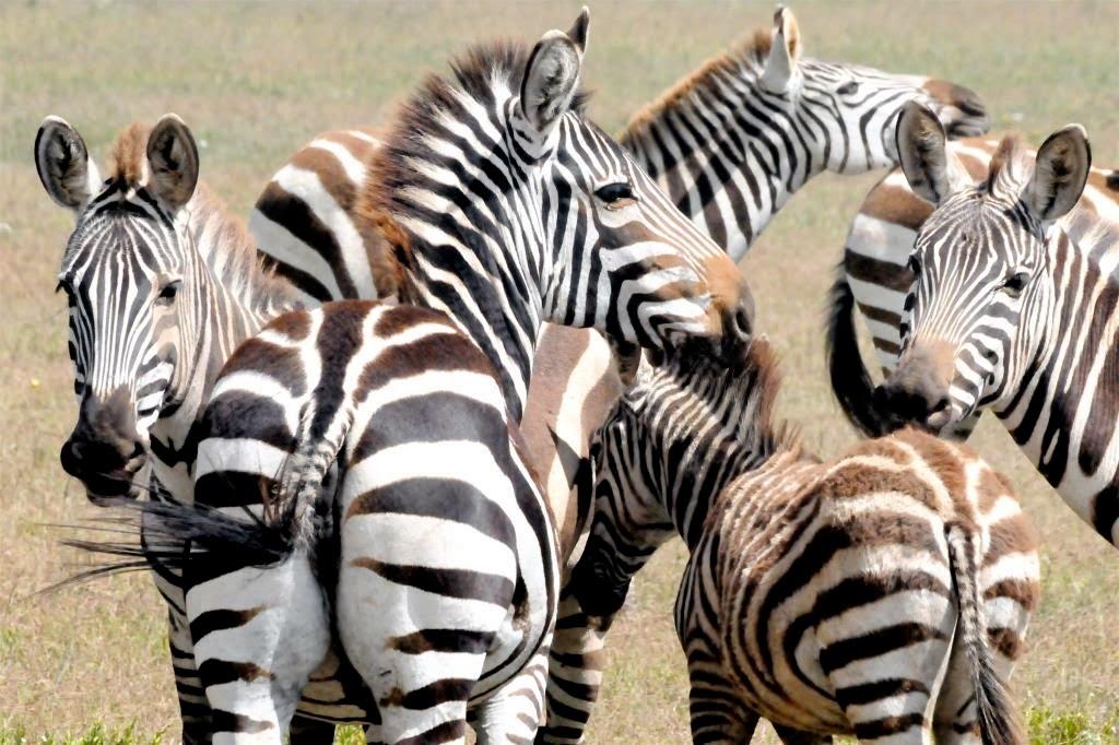 Tanzania, safari, zebra's, wildlife, natuur, Afrika, Oost-Afrika, dieren, dierenrijk
